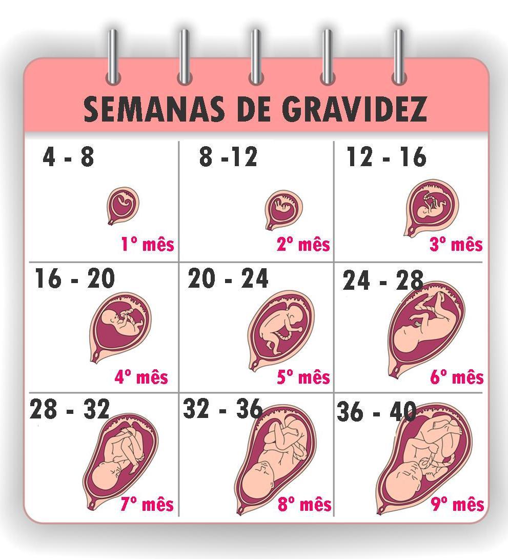 1000 ideas about semanas de gravidez on pinterest 9 - 28 semanas de embarazo cuantos meses son ...